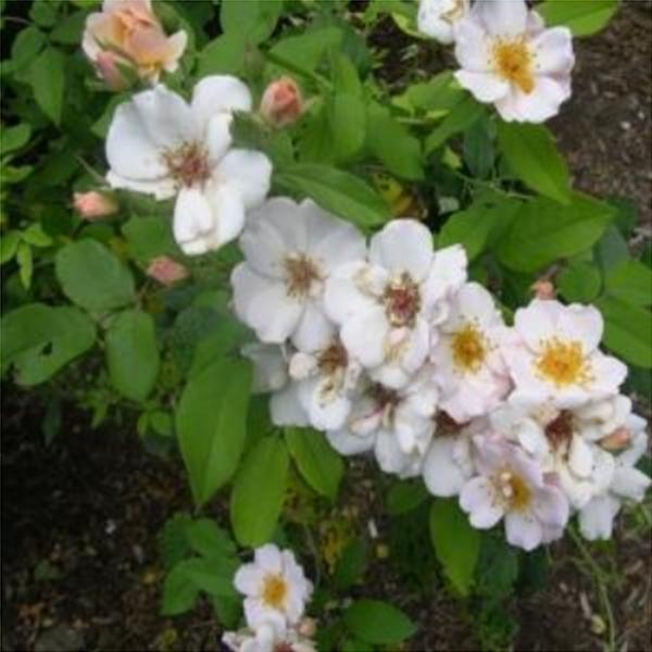 찔레꽃 H1.0 망포트