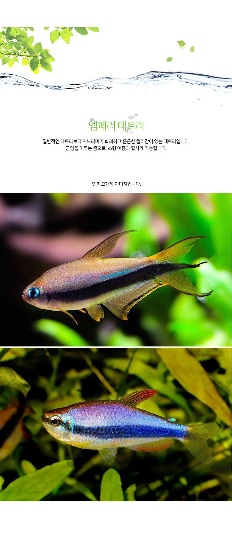 엠페러 테트라 2마리 - 미미네아쿠아, 6,000원, 키우기, 생물