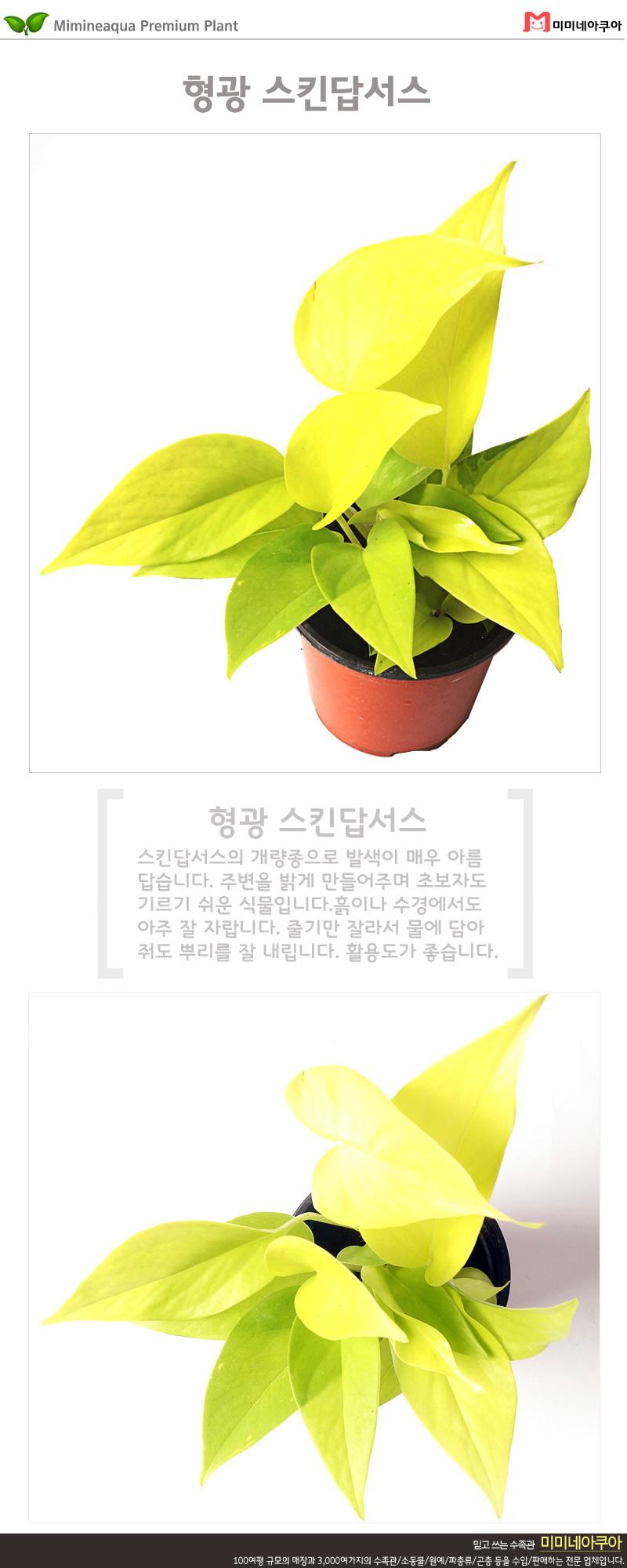 형광 스킨답서스 1포트 - 미미네아쿠아, 4,500원, 허브/다육/선인장, 공기정화식물