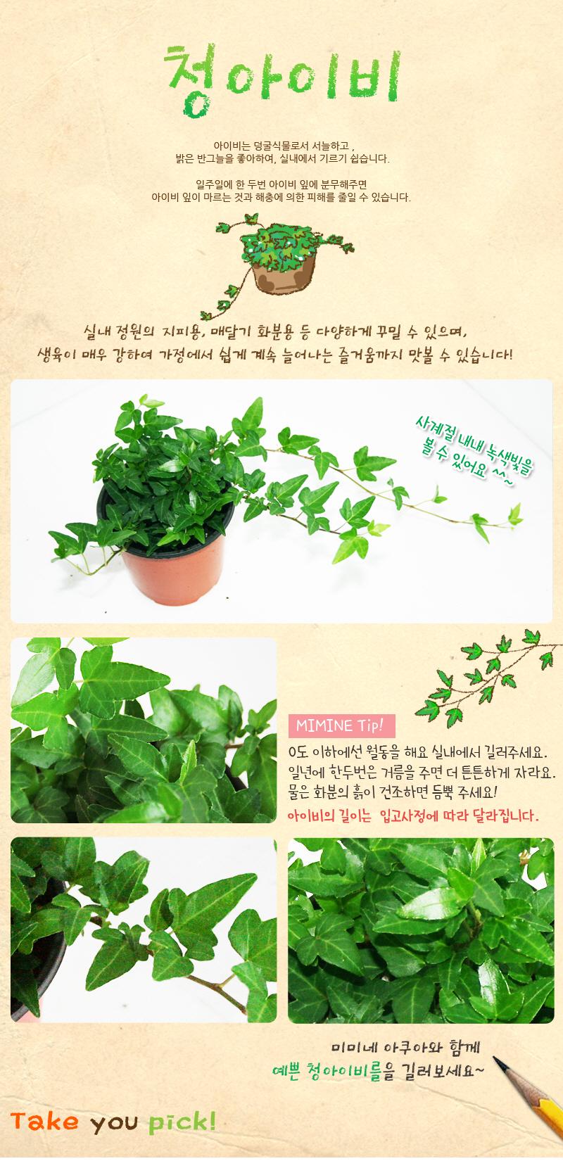 청아이비 1포트 - 미미네아쿠아, 3,000원, 허브/다육/선인장, 공기정화식물