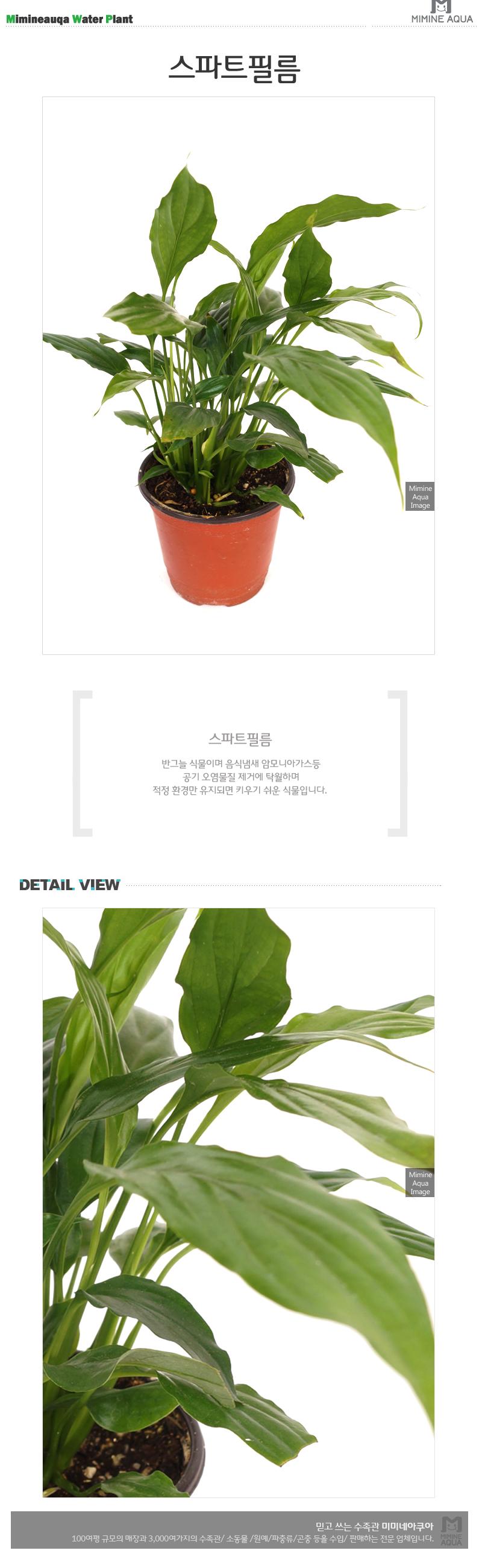 스파트필름 1포트 - 미미네아쿠아, 3,000원, 허브/다육/선인장, 공기정화식물